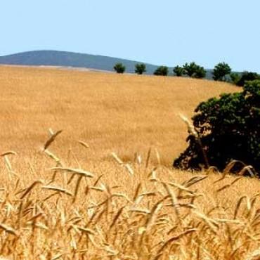 Dan por finalizada la cosecha de trigo con 15 mill/tn