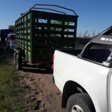 CPR: Infracción por transportar porcinos