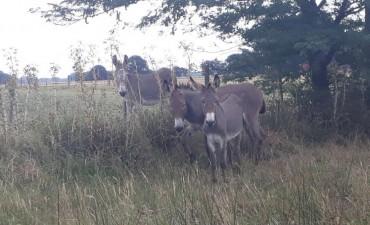 Bolívar: Tres burros sueltos en la vía pública