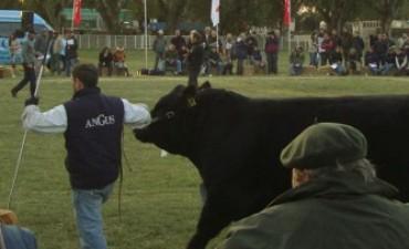 La Asociación Argentina de Angus vuelve a la Sociedad Rural de Bolívar con la 74º exposición de otoño