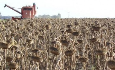 Cómo aumentar la producción de toneladas de girasol en el Oeste